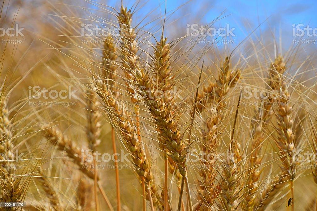 Field of ripe mature wheat ears under blue sky royalty free stockfoto