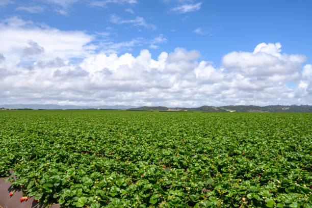 Field of Ripe Strawberries Ready for Harvest Hillside field of ripe strawberries ready for harvest, under a cloudy sky  Taken in Moss Landing, California, USA strawberry field stock pictures, royalty-free photos & images