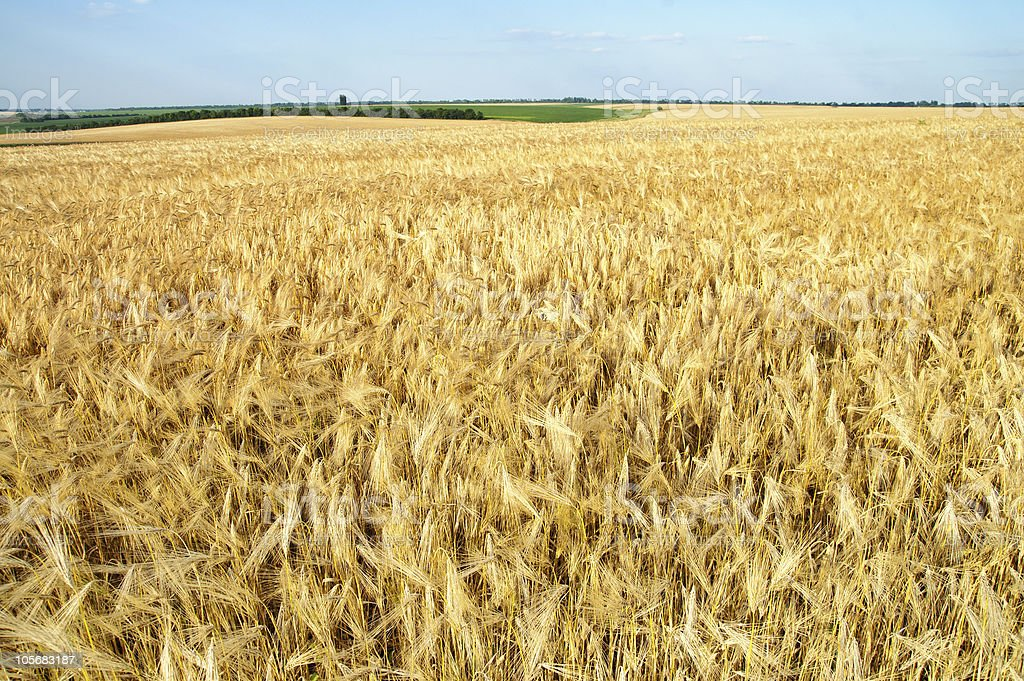 field of ripe wheat royalty-free stock photo