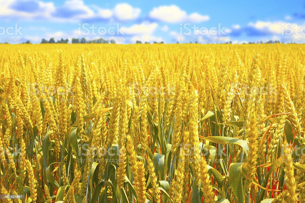 Field of ripe wheat stock photo