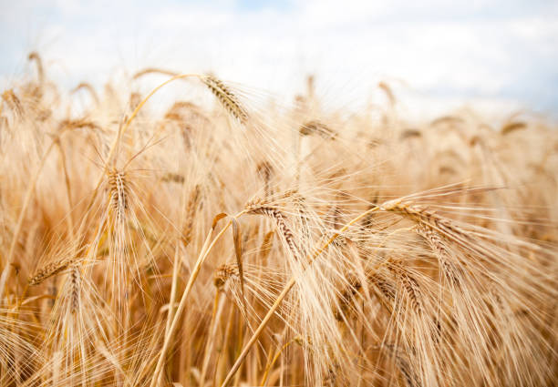 Field of ripe wheat Field of ripe wheat (Triticum). Close-up of wheat ears. ear of wheat stock pictures, royalty-free photos & images