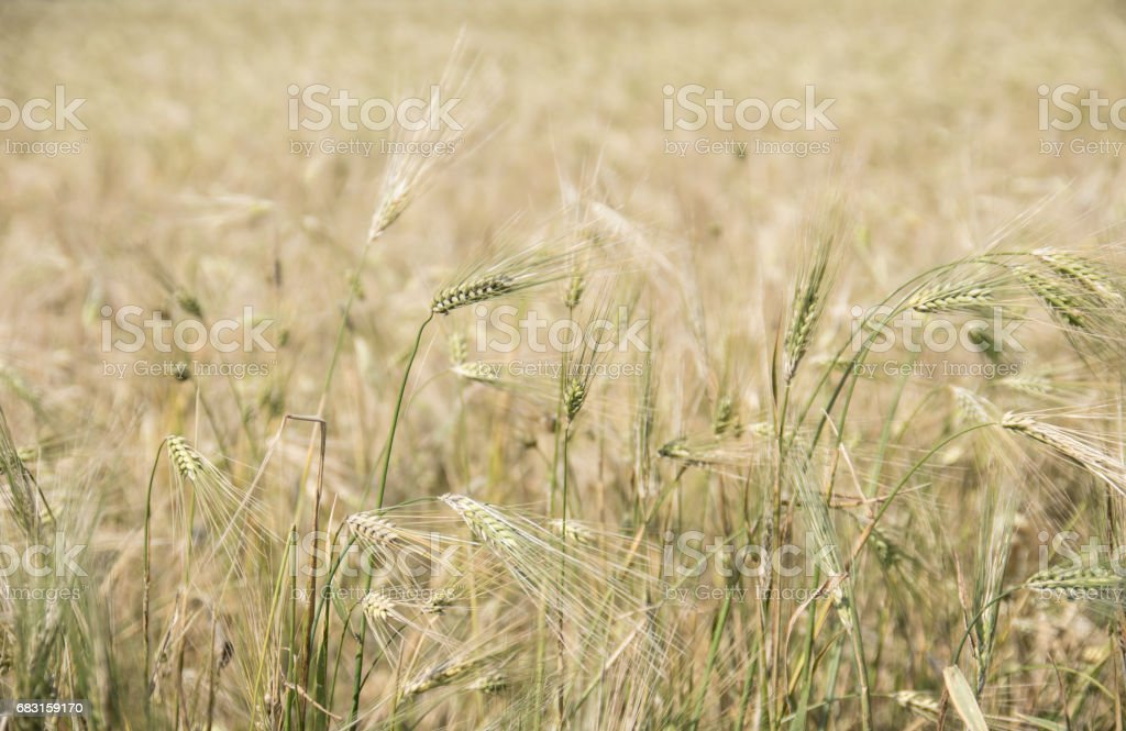 Field of Ripened Grain royalty-free 스톡 사진