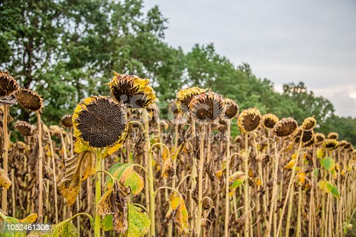 Field of ripened sunflowers, ready to harvest seeds. Autumn harvest. Farmer field.