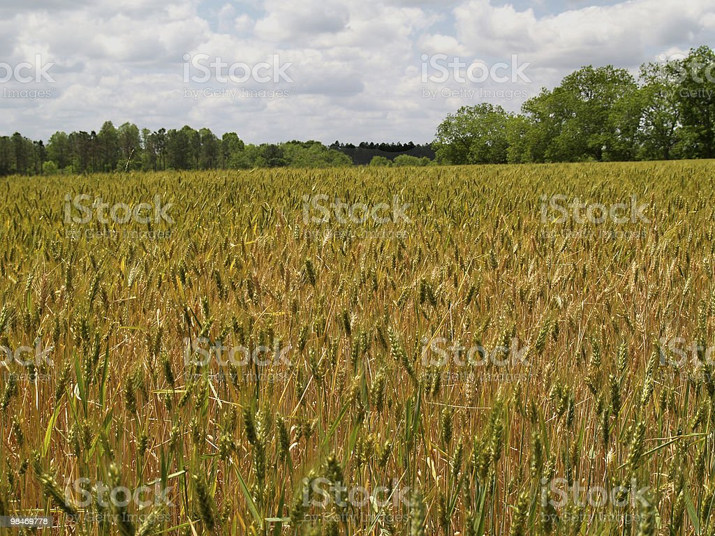 Field of Ripening Bearded Wheat royalty-free stock photo