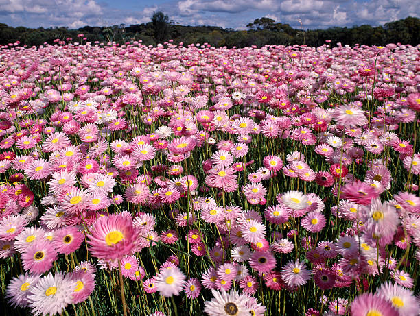 Field of Rosy Everlasting wildflowers growing in Western Australia. stock photo
