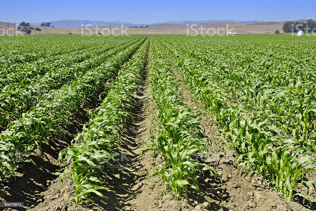 Field of rows of young immature corn plants on a farm stock photo