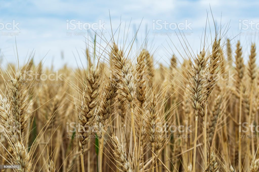 Field of rye, Agricultural concept. stock photo