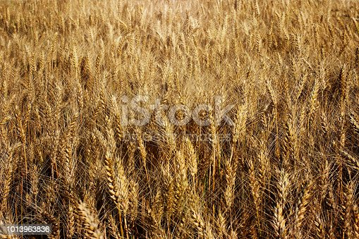 istock A field of rye and barley. Maturation of the future harvest. Agrarian sector of the agricultural industry. Plant farm. Growing of cereal crops. Source of food and well-being. 1013963836
