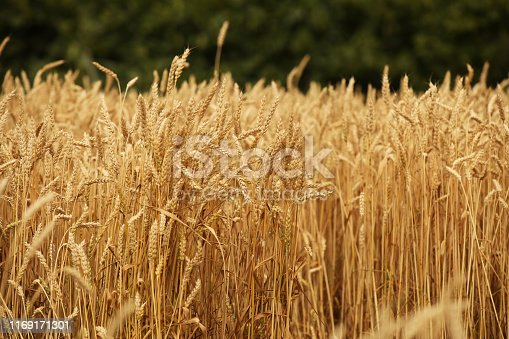istock A field of rye and barley. Maturation of the future harvest. Agrarian sector of the agricultural industry. Plant farm. Growing of cereal crops. Source of food and well-being. 1169171301