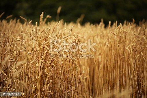 A field of rye and barley. Maturation of the future harvest. Agrarian sector of the agricultural industry. Plant farm. Growing of cereal crops. Source of food and well-being.