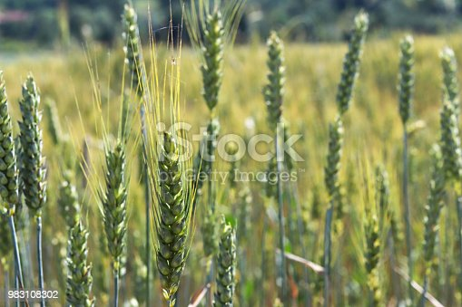istock A field of rye and barley. Maturation of the future harvest. Agrarian sector of the agricultural industry. Plant farm. Growing of cereal crops. Source of food and well-being. 983108302