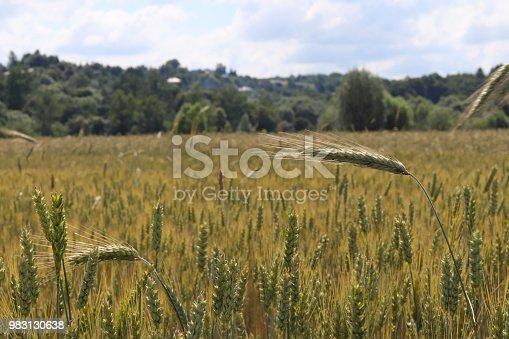 istock A field of rye and barley. Maturation of the future harvest. Agrarian sector of the agricultural industry. Plant farm. Growing of cereal crops. Source of food and well-being. 983130638