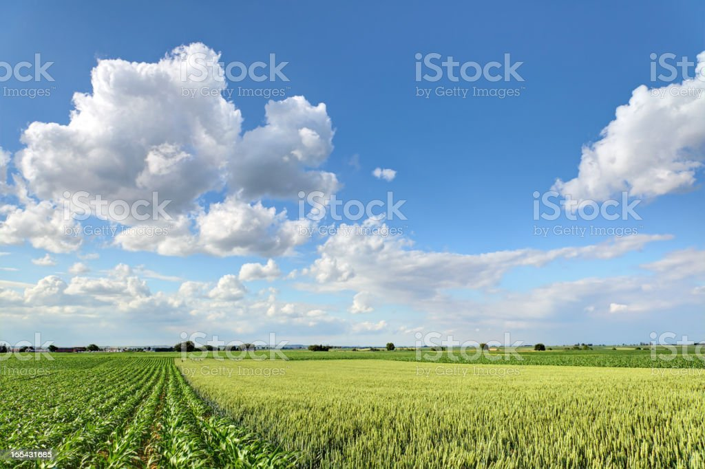 field of rye and corn royalty-free stock photo