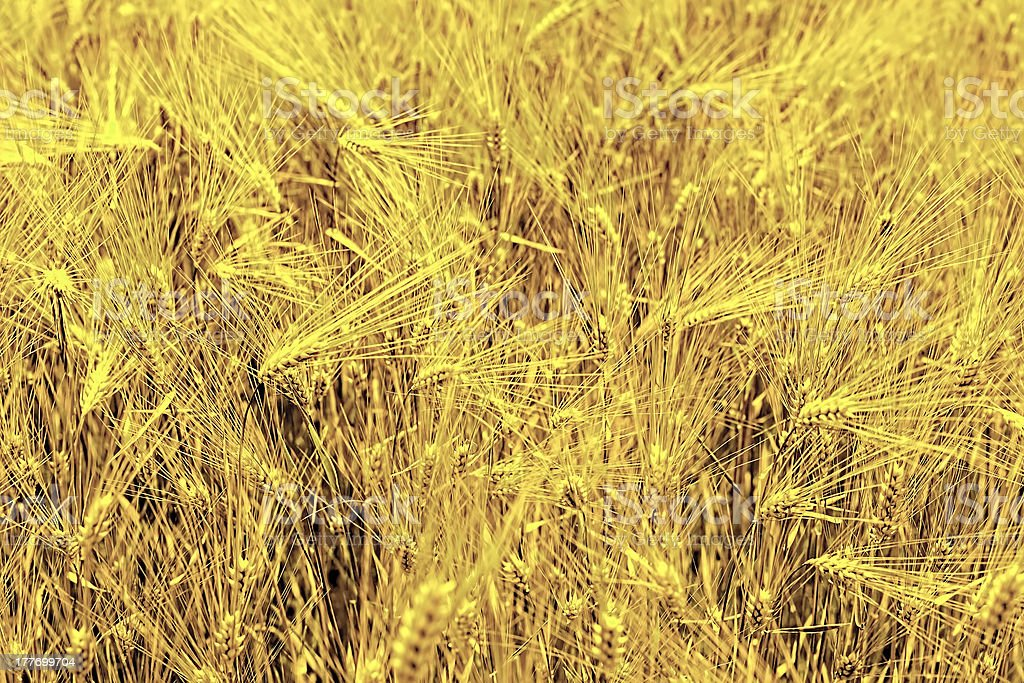 Field of rye close-up. royalty-free stock photo