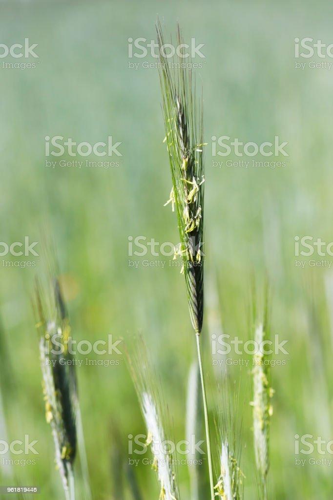 Veld of Rye (Secale cereale) bloei foto