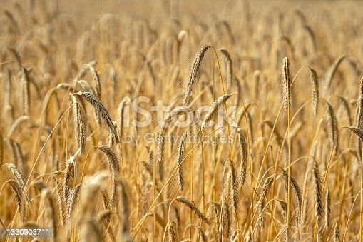 istock Field of rye in the backlight of the sun 1330903711