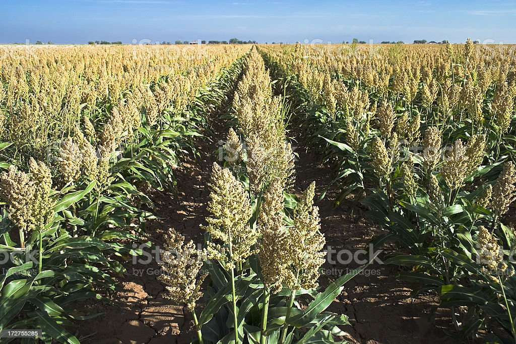 field of sorghum crop in rows stock photo
