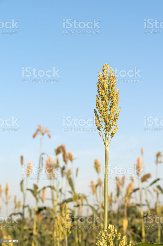 Field of Sorghum or Millet stock photo