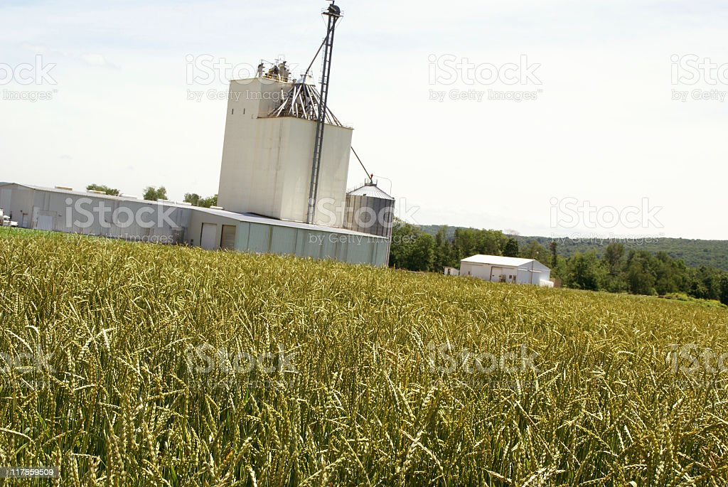 Field of Spelt royalty-free stock photo