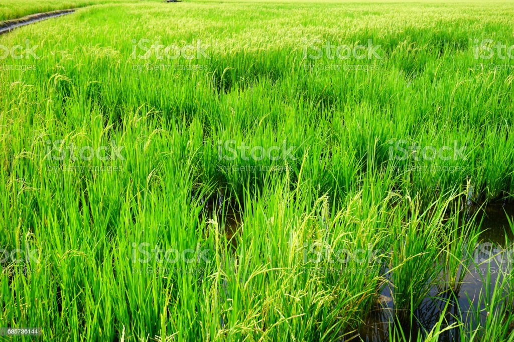 Field of spring fresh green grass foto de stock royalty-free