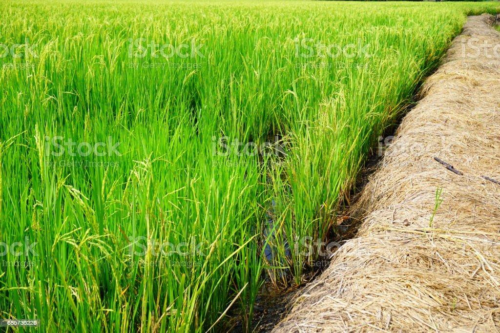 フィールドの春のフレッシュな緑草 ロイヤリティフリーストックフォト