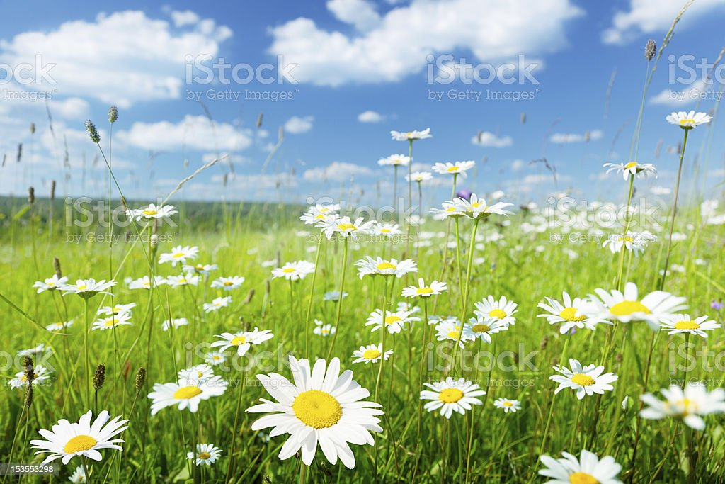 field of summer flowers stock photo