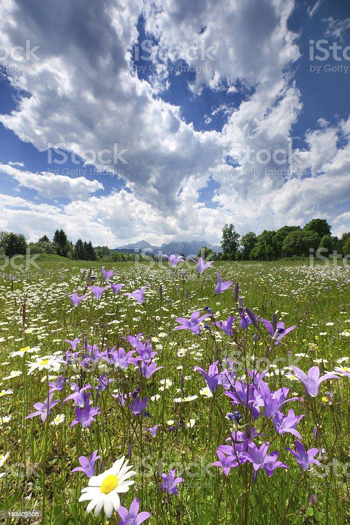 field of summer marguerites, bellflower - allgäu, füssen, bavaria, germany royalty-free stock photo