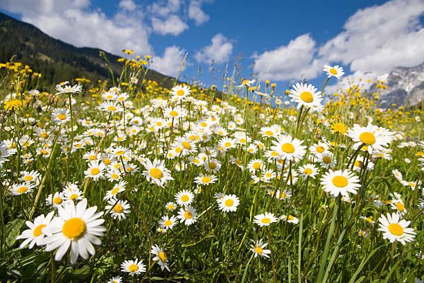 Bereich von Sommer marguerites – Foto
