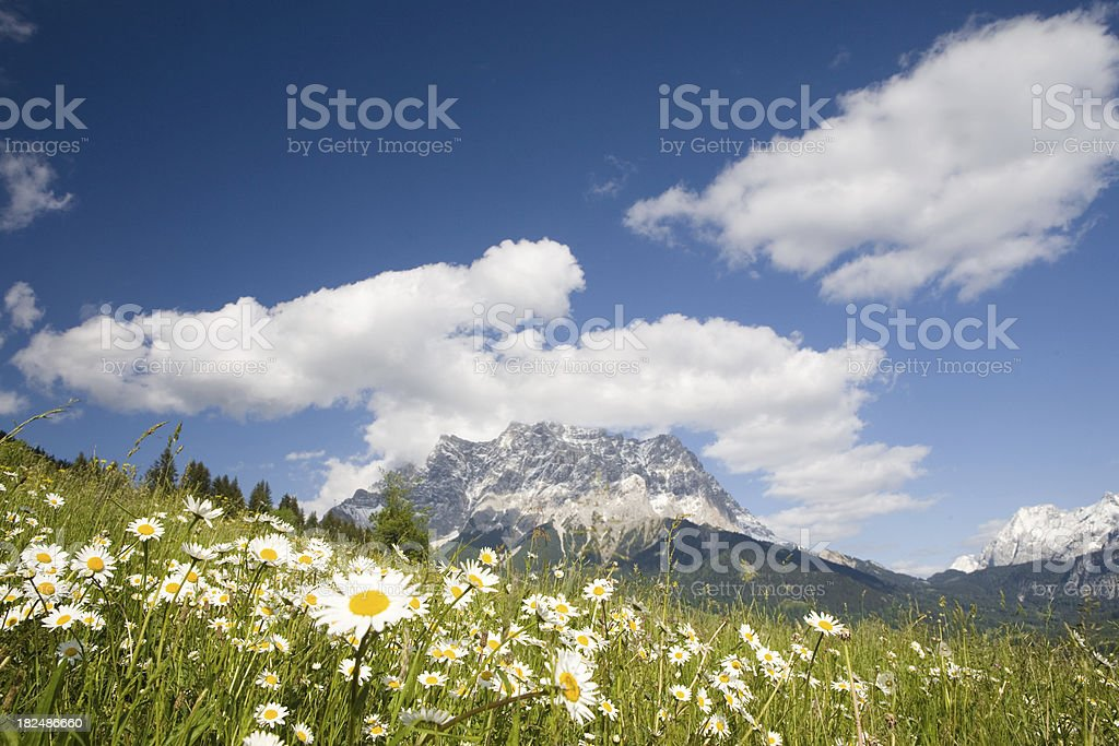 field of summer marguerites royalty-free stock photo