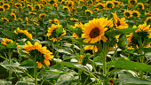 Field of sunflower plant blossom in a garden, view from back of yellow petals flower head spread up and blooming above green leaves