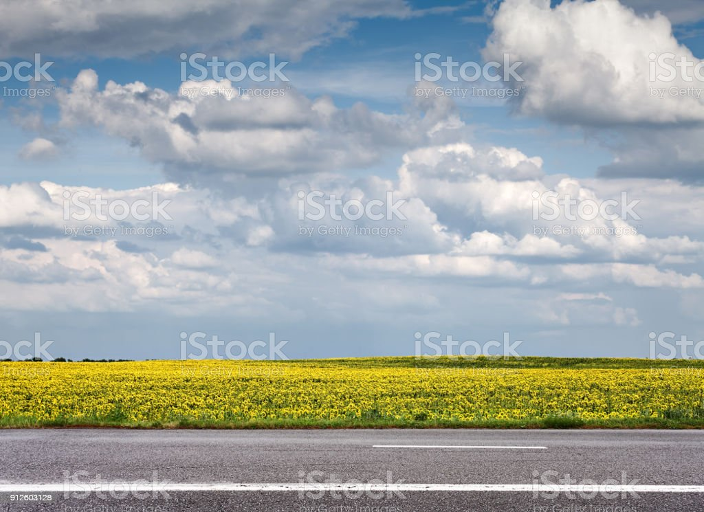 Field of sunflowers and asphalt road stock photo