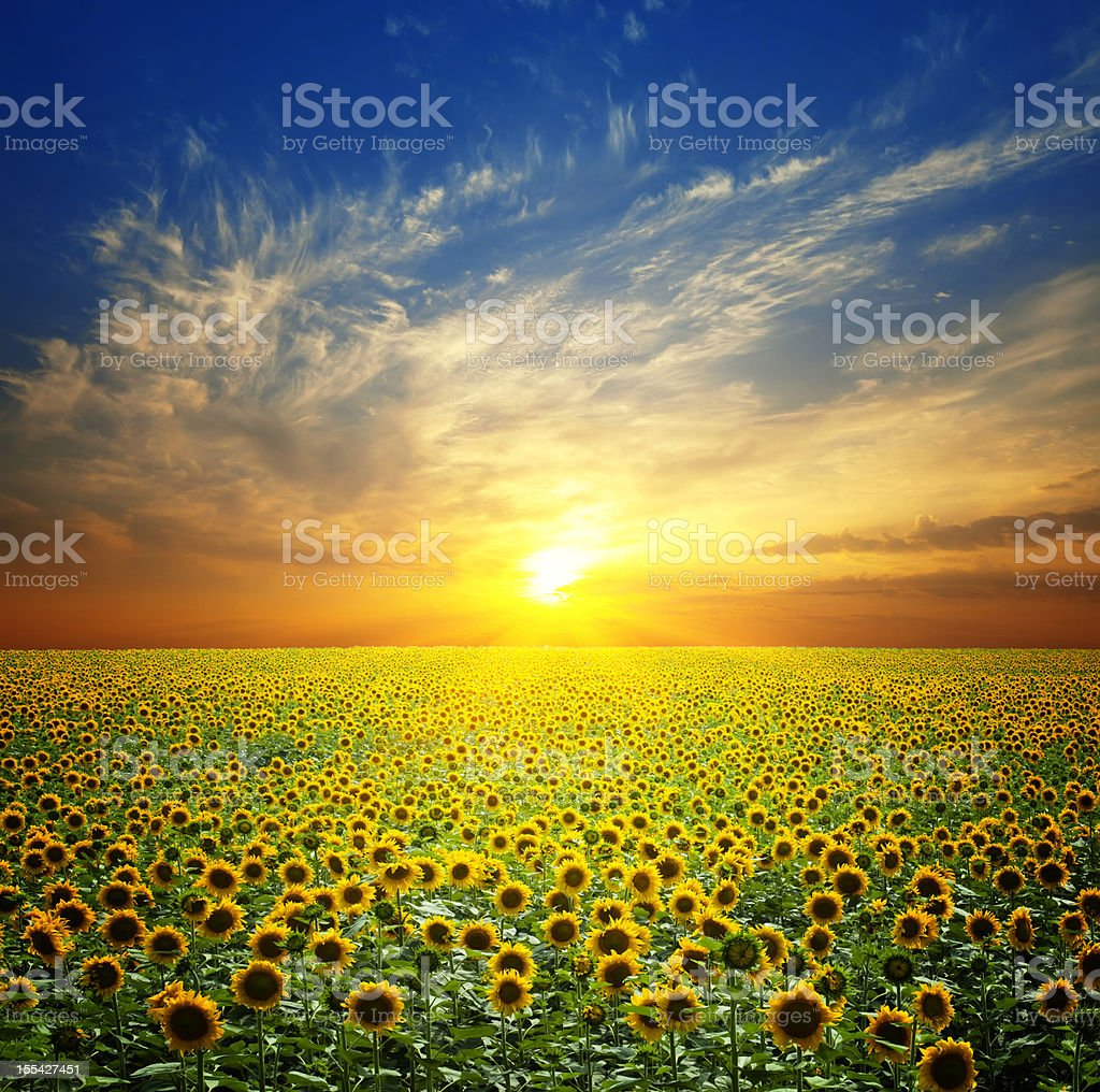 Field of sunflowers at sunset stock photo