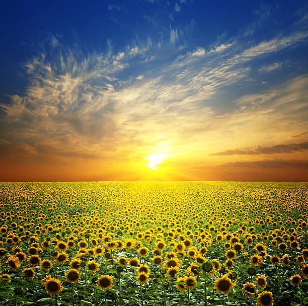 campo de girassóis ao pôr-do-sol - jardim do eden - fotografias e filmes do acervo