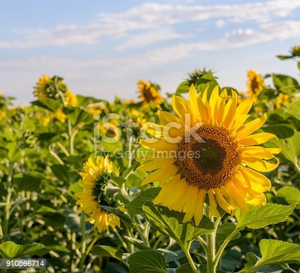 Field of sunflowers . Close up of sunflower against a field.