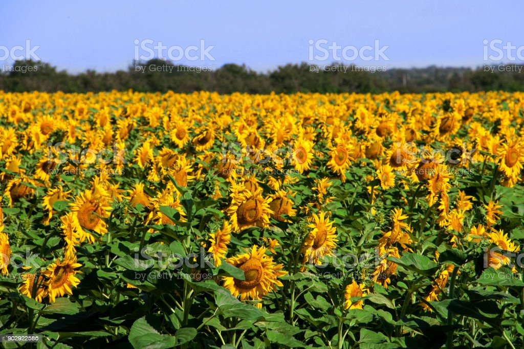 field of sunflowers in a sunny day stock photo