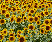 Field of sunflowers in bloom