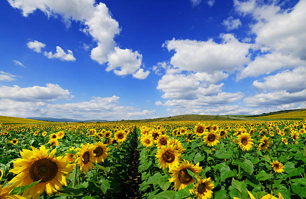 A field of sunflowers in bloom stock photo