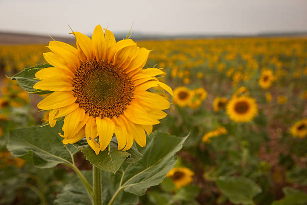Field of sunflowers in Morocco stock photo