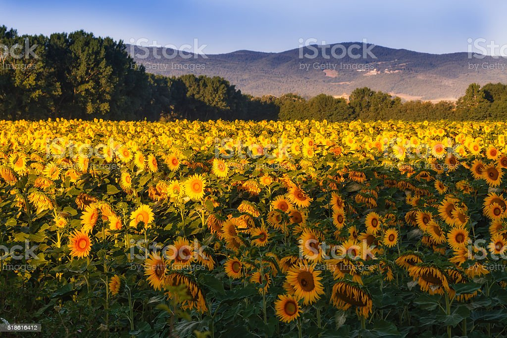 Field of sunflowers in Tuscany stock photo