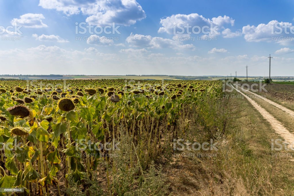 Field of sunflowers. Large clouds. Blue sky. Road to the distance. royalty-free stock photo
