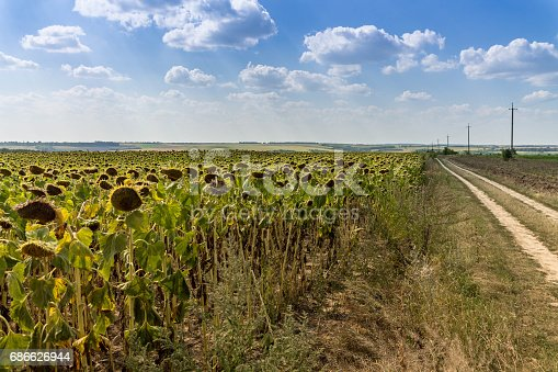 Field Of Sunflowers Large Clouds Blue Sky Road To The Distance Stock Photo & More Pictures of Above
