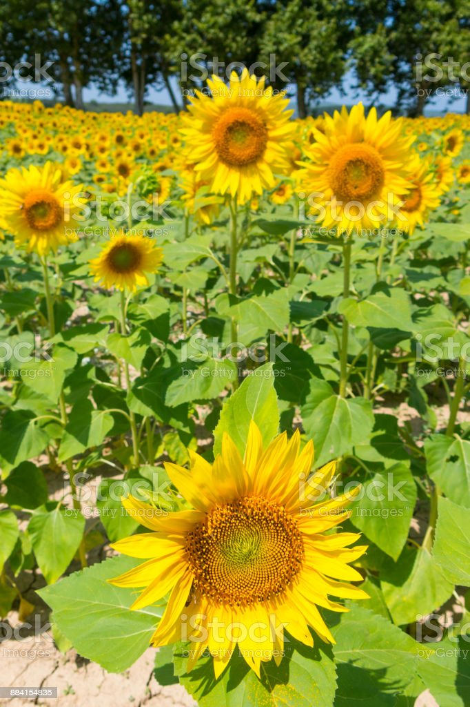 Field of sunflowers lines composition of nature stock photo