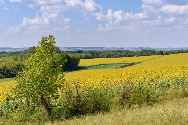 Sonnenblumenfeld an einem heißen Sommertag außerhalb der Stadt – Foto