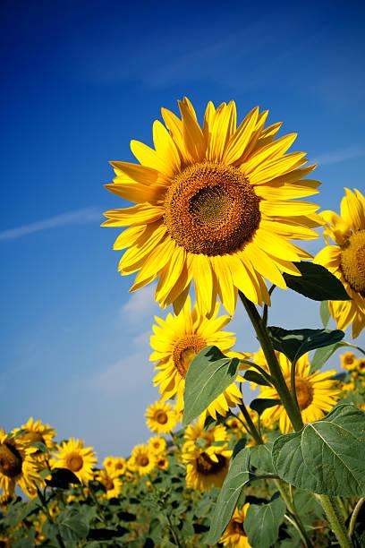 sonnenblumenfeld - sonnenblume stock-fotos und bilder