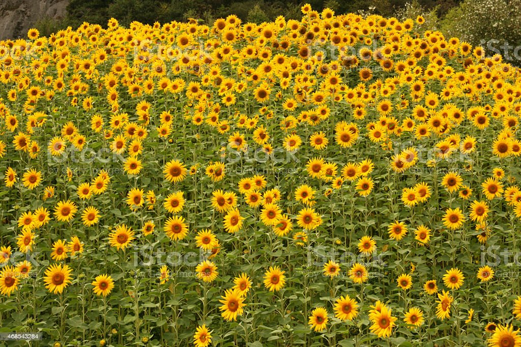 Field Of Sunflowers - Royalty-free 2015 Stock Photo