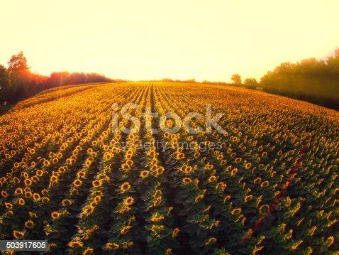 istock Field of Sunflowers 503917605