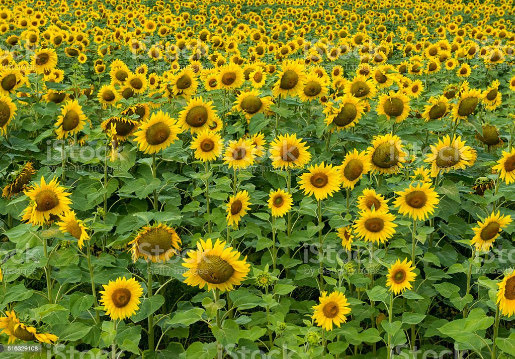 Field of Sunflowers stock photo