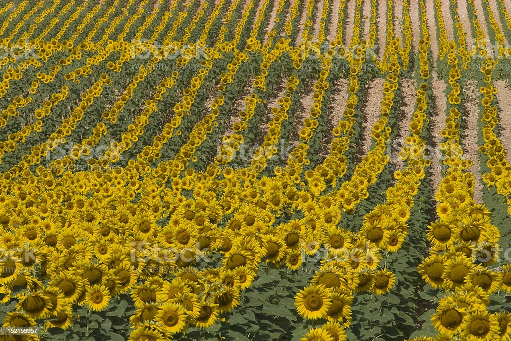 Field of sunflowers planted on straight line