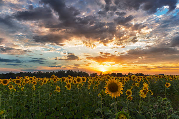 field of sunflowers sunset clouds. - foto de stock