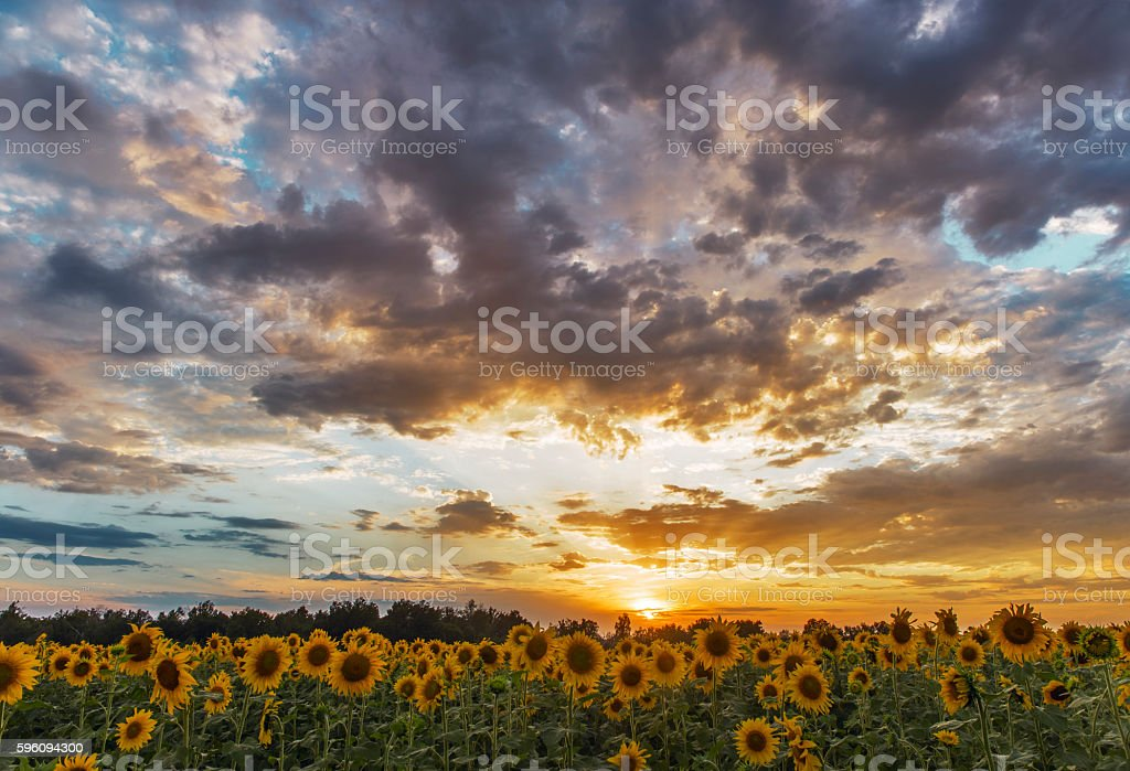 field of sunflowers sunset clouds. royalty-free stock photo